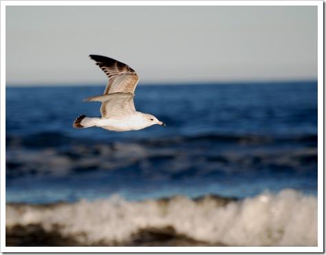 seagull at Jax