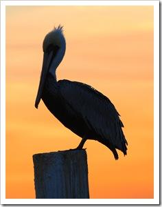 Pelican post2