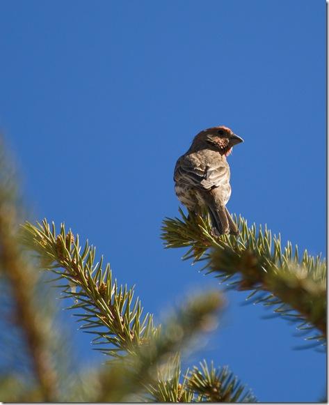 Bird on Pine 1