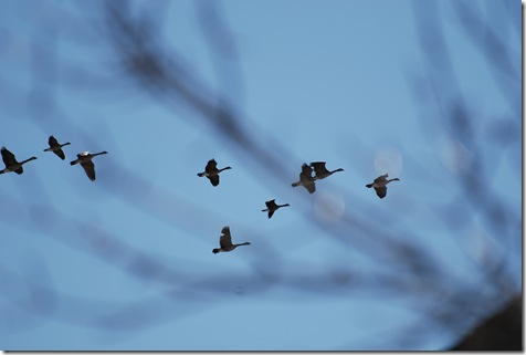 Geese passing