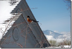 Robin of winter