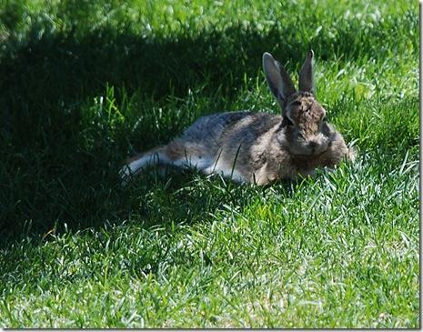 rabbit lounging
