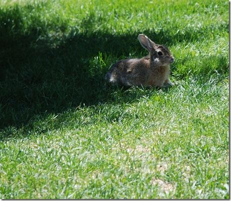 rabbit alert