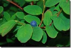 blueberry bush 2