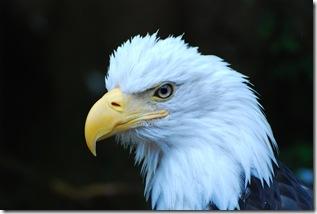 Eagle Ketchikan