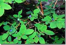 blueberry bush 1