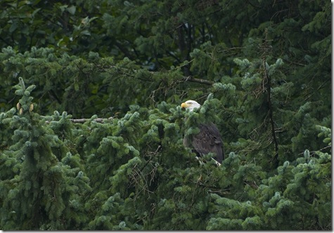 eagle in Juneau