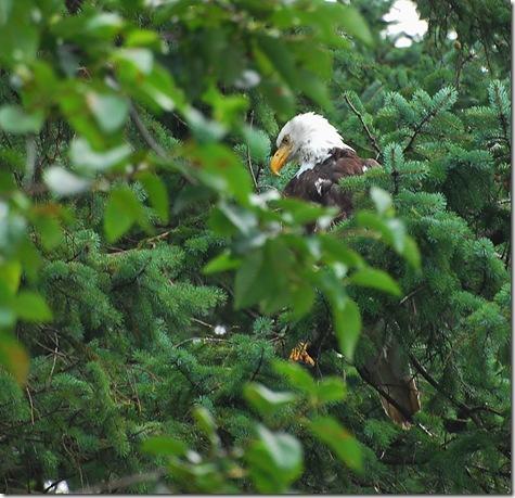 eagle in Juneau 2