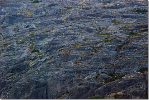 dall sheep at 3000 meters
