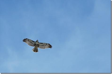 falcon over colorado