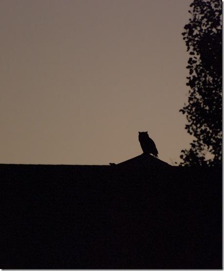 harassesd owl