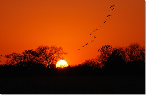 Geese into the Sunset