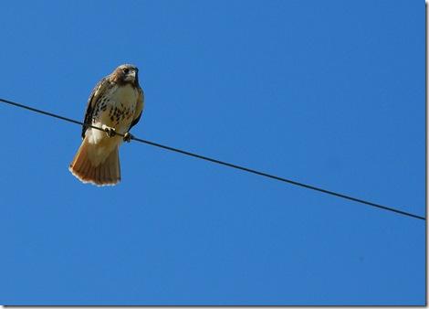 Hawk Grand Ledge