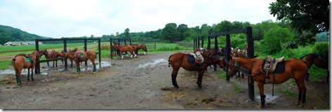 polo ponies2